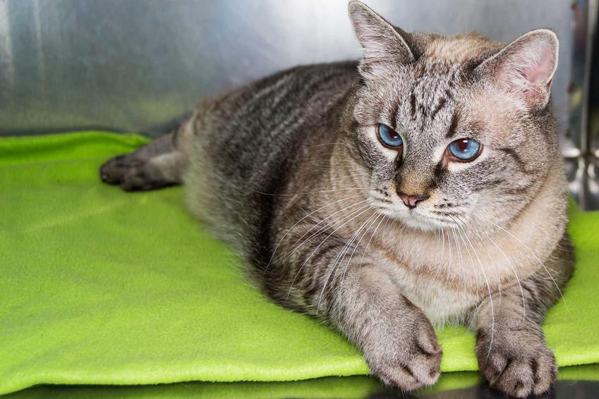 Kot leżący na dywaniku, a także cukrzyca u kota, przyczyny, objawy, rokowania, diagnozy i zastosowanie oraz leczenie krok po kroku