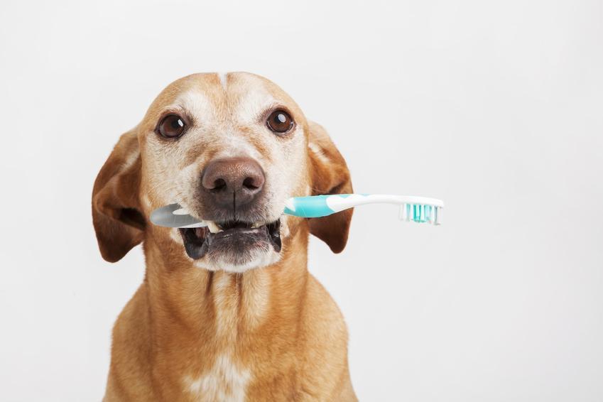 Pies ze szczoteczką do zębów w pysku, czyli kamień nazębny u psa krok po kroku