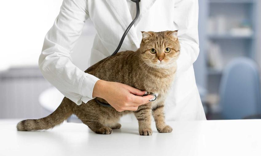 Kot u weterynarza, a także leczenie zapalenia pęcherza u kota, objawy choroby, przyczyny, przebieg, rokowania i diagnoza