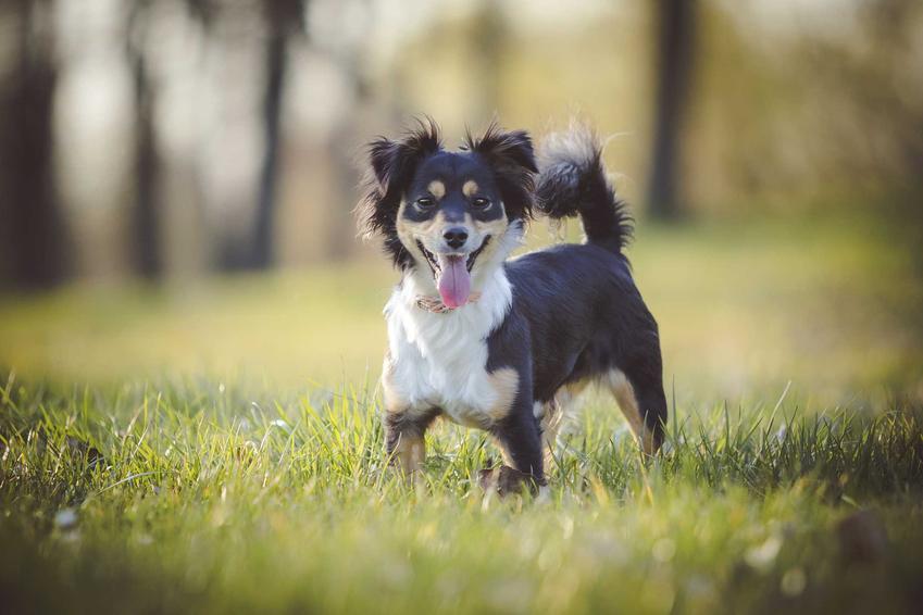 Zabawny czarno-biały pies kundel na zielonej trawie, a także opis, charakter, wymagania oraz porady dla właścicieli