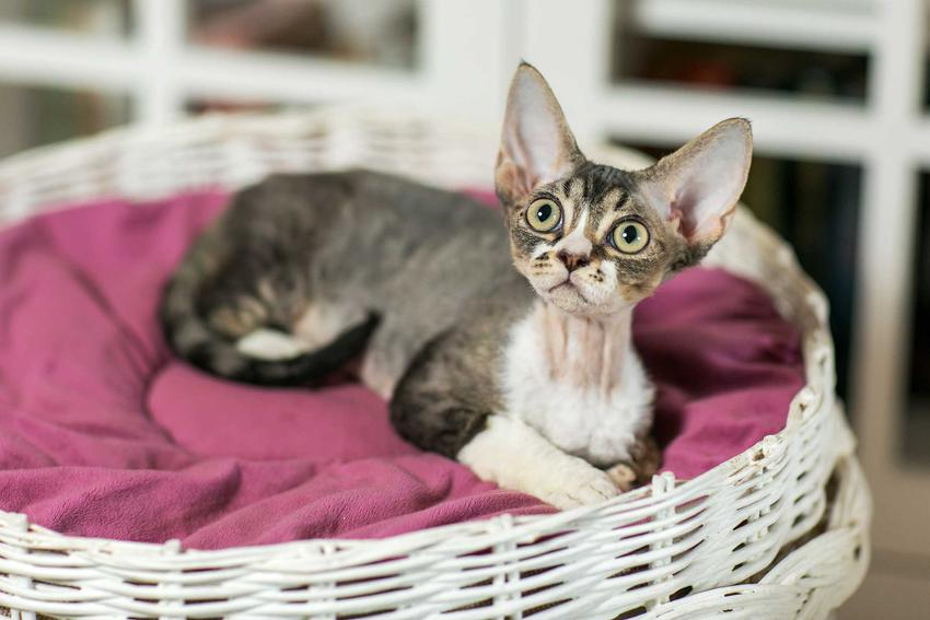Kot Devon Rex na posłaniu w koszyku o dużych uszach i zielonych oczach, a także TOP 10 najlepszych ras kotów dla dzieci