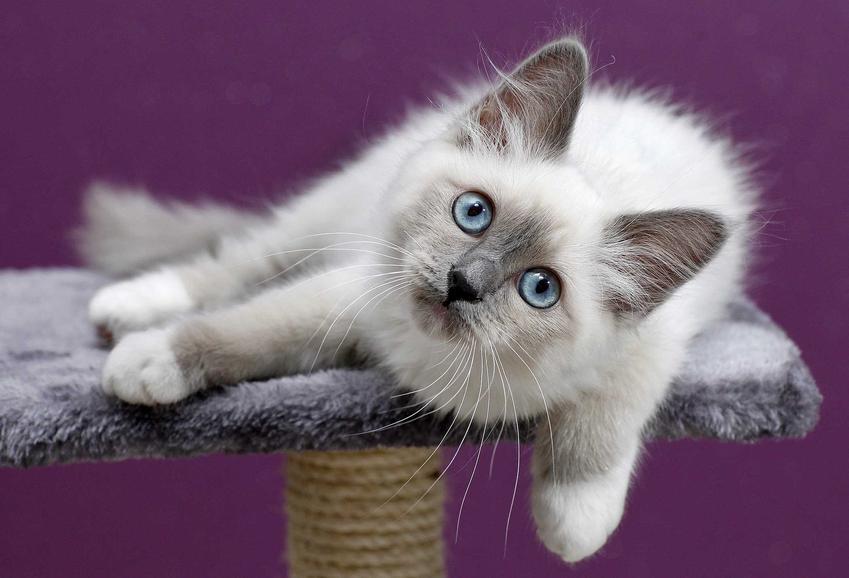 Kot Birmański leżący na drapaku lub domku dla kotów, a także TOP 10 ras kotów dla dzieci
