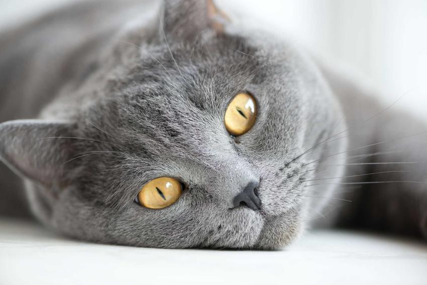 Kot brytyjski lezący na ziemi, a także TOP 10 ras kotów dla dzieci, czyli najlepsze rasy do domu z dzieckiem