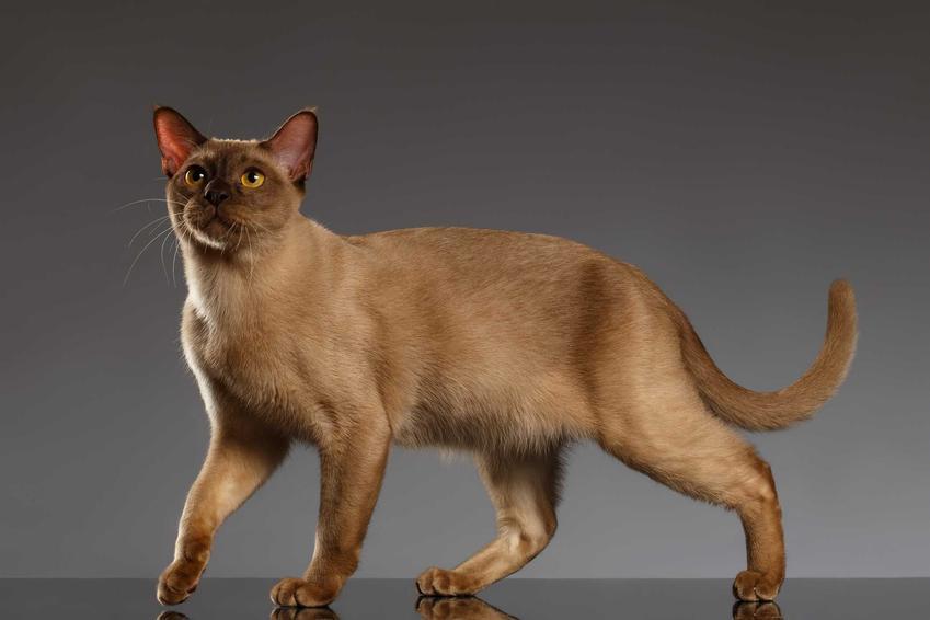 Kat burmski na szarym tle, a także najspokojniejsze rasy kotów - TOP 10 ras kotów dla dzieci