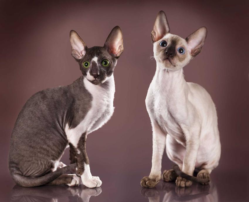 Koty CornishRex o białej i czarnej sierści, a także najlepsze rasy kotów, czyli TOP 10 ras kotów dla dzieci