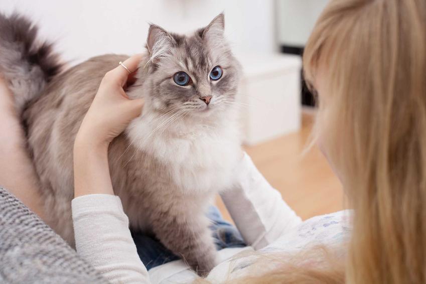 Kot Ragdoll, jedna z najspokojniejszych ras siedzący na właścicielce, a także TOP 10 ras kotów dla dzieci