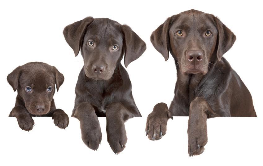 Fazy wzrostu psa na białym tle, czyli informacje, do jakiego wieku rośnie pies