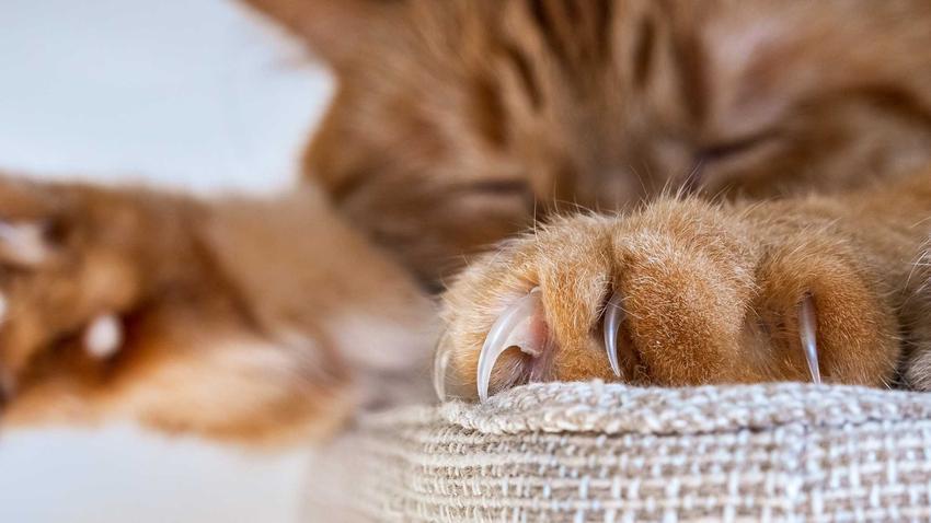 Pazurki kota o rudej sierści leżącego na kanapie, a także choroba kociego pazura, leczenie, powikłania i sposoby zarażenia