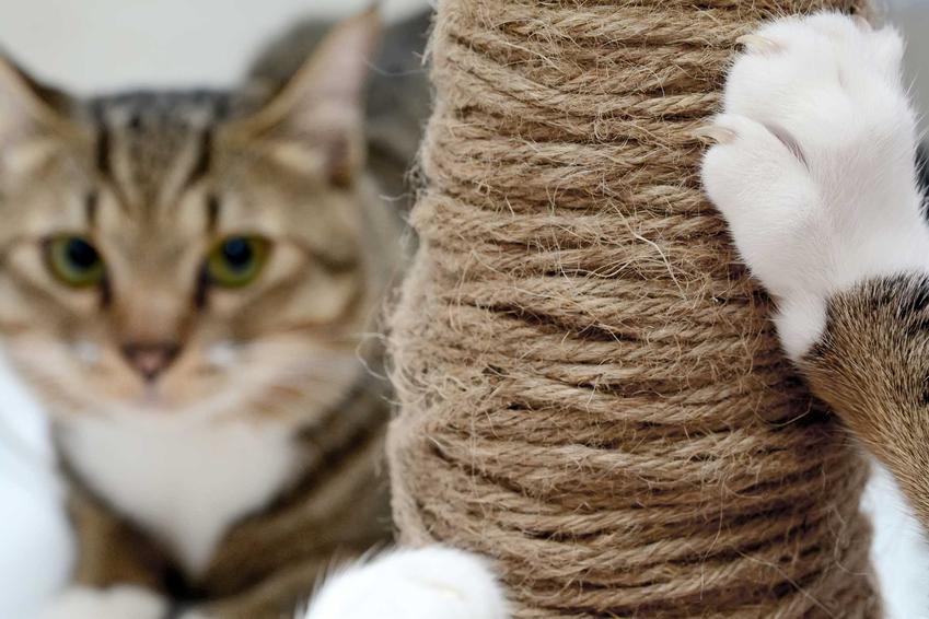 Koty drapiące drapak dla kotów, a także choroba kociego pazura krok po kroku, leczenie, powikłania, sposoby zarażenia