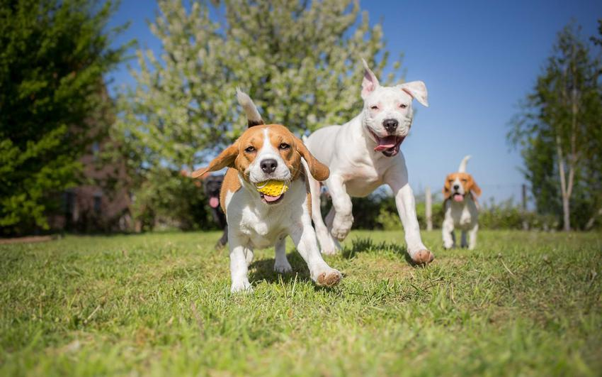 Psy bawiące się piłką w grupie, a także jak przebiega socjalizacja psa krok po kroku, oswajanie psa z innymi psami