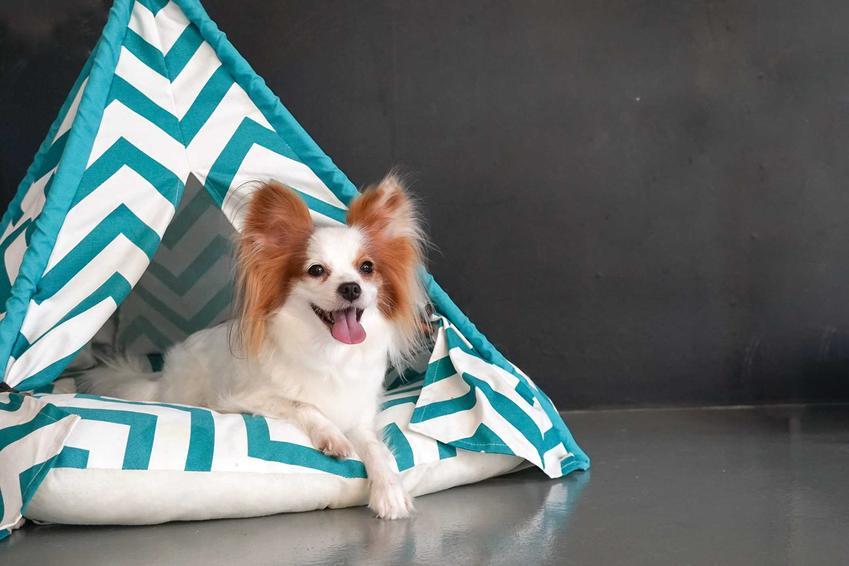 Mały piesek w namiocie dla psów, a także opis namiotów dla psa, modele, ceny oraz wymiary i zastosowanie
