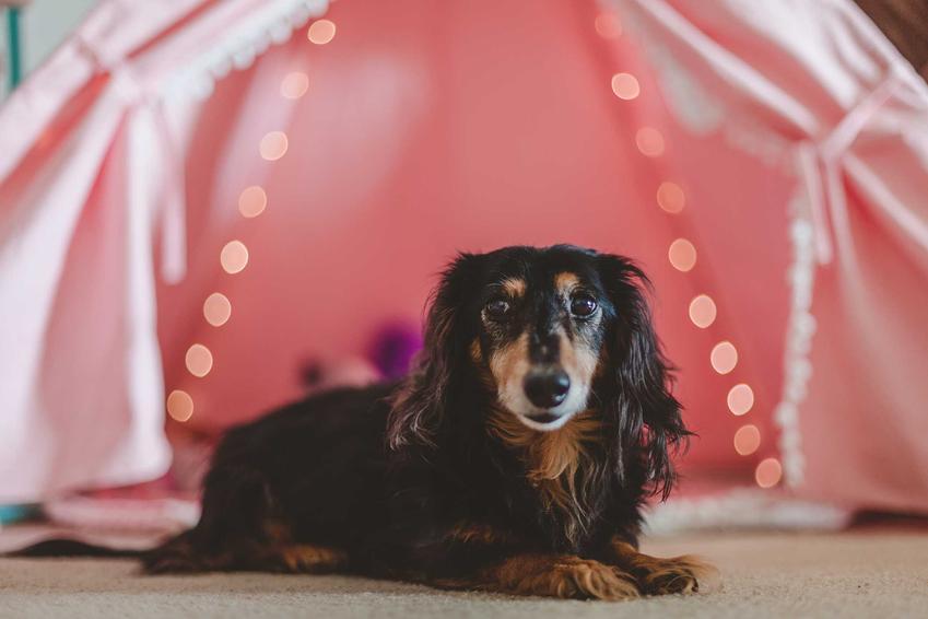 Jamnik leżący przed namiotem dla psów, a także opis, modele, ceny, wymiary i zastosowanie
