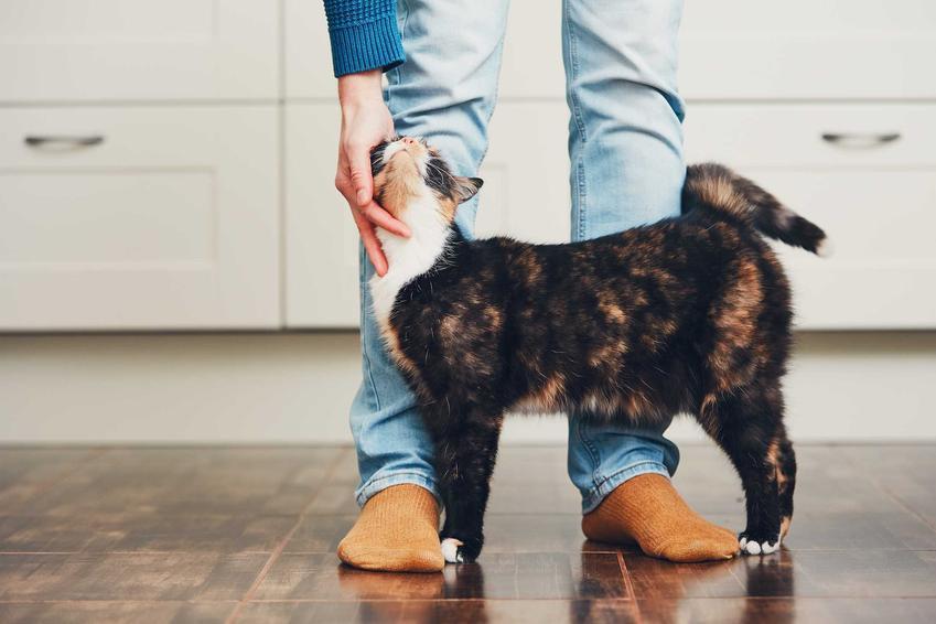 Kot ocierający się o nogi właściciela, a także informacje, jak kot okazuje miłość, zachowania kota, który kocha właściciela