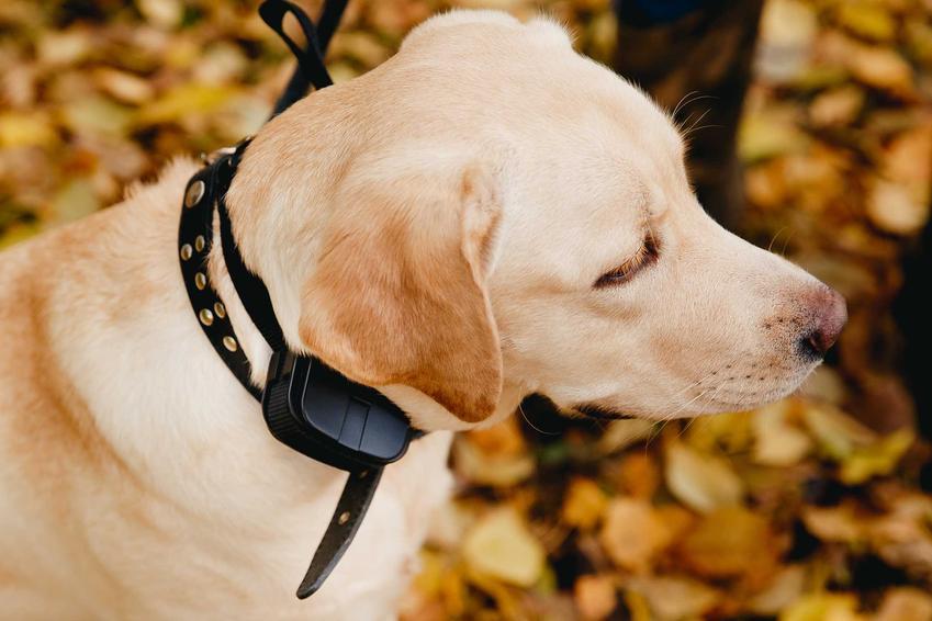 Pies z obrożą antyszczekową dla psa, a także opis, działanie, cena, porady antyszczekaczy dla psa