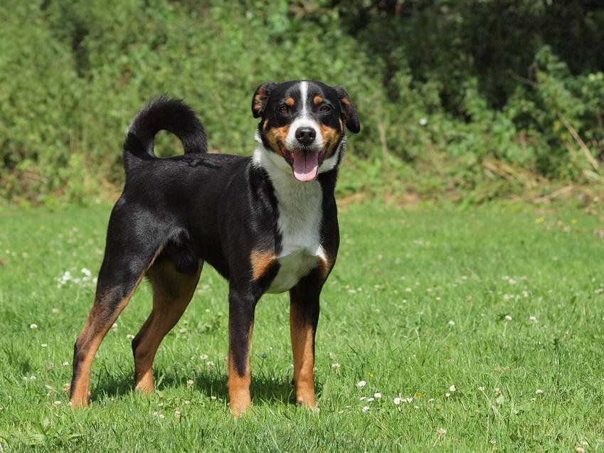 Dorosły pies Appenzeller stojący na trawie, a także opis, usposobienie, szkolenie, porady oraz najważniejsze informacje dla hodowców