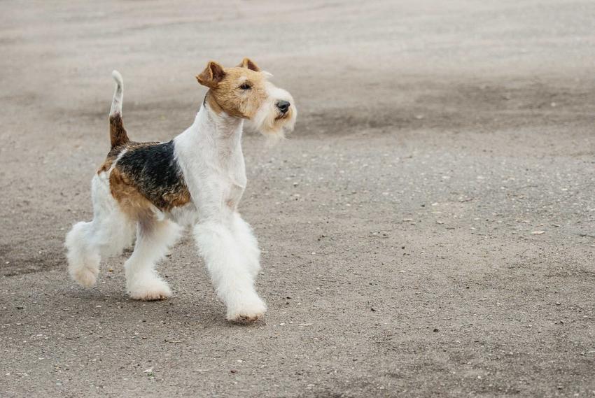 Fox terrier biegnący po plaży, a także charakter, wymagania, porady oraz informacje dotyczące pielęgnacji psa
