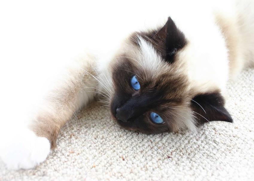 Kot syjam o białej sierści leżący na podłodze, a także opis rasy, usposobienie, pielęgnacja i porady
