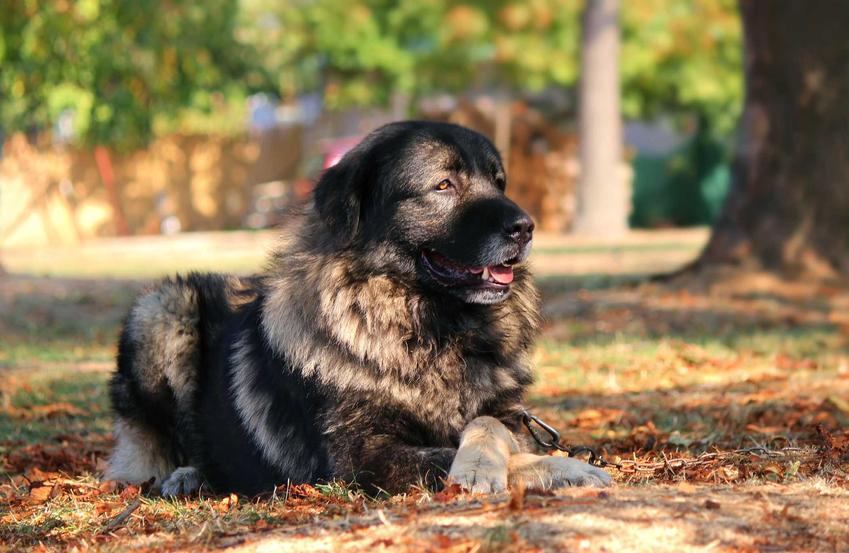 Pies Sarplaninac leżący na trawie w parku, a także charakterystyka rasy, usposobienie, wymagania oraz pielęgnacja i porady