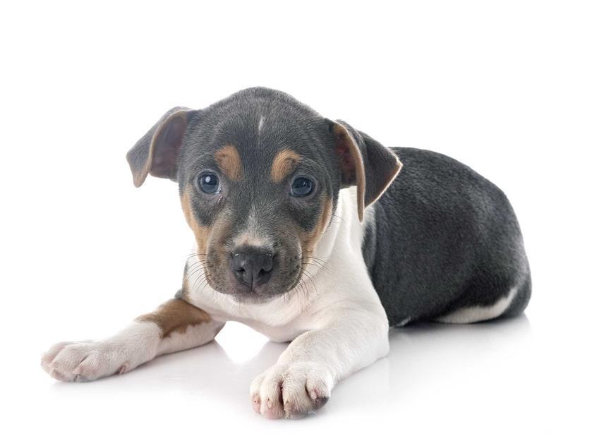 Szczenię psa rasy terier brazylijski, a także opis, usposobienie, charakter, wymagania oraz pielęgnacja i ceny