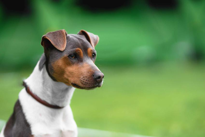 Terier brazylisjki na zielonym tle, a także opis rasy, charakter, wymagania, pielęgnacja oraz usposobienie psa