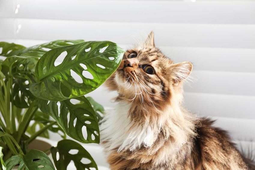 Kot stojący obok monstery na parapecie, a także TOP 15 roślin bezpiecznych dla kota oraz gatunki najlepsze dla kotów