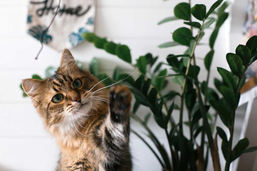 Kot bawiący się liściem zamiokulkasa, a także rośliny bezpieczne i szkodliwe dla kotów - TOP 15 bezpiecznych roślin