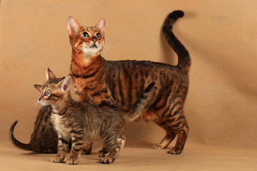 Dorosły kot z małym kociakiem razy Toyger, a także informacje o kotach wyglądających jak tygrys krok po kroku - usposobienie, opis, charakterystyka