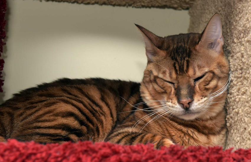 Kot rasy Toyger, czyli kot jak tygrys, śpiący na dywanie, a także usposobienie, opis, pielęgnacja i wymagania kotów Toyger
