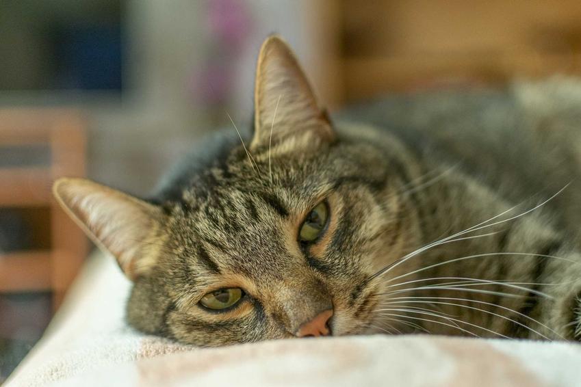 Chory kot leżący na łóżku z wysoką temperaturą, a także jaka jest prawidłowa temperatura u kota krok po kroku - praktyczne porady