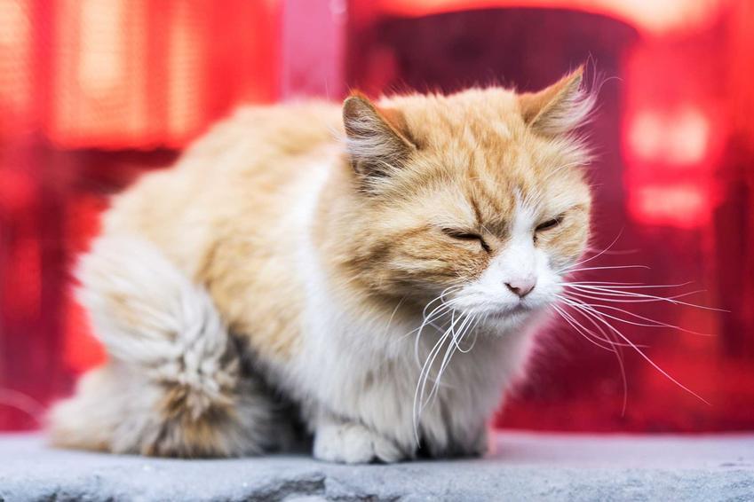 Kot chory na chlamydię z zapaleniem oczu, a także objawy, leczenie, profilaktyka oraz rokowania