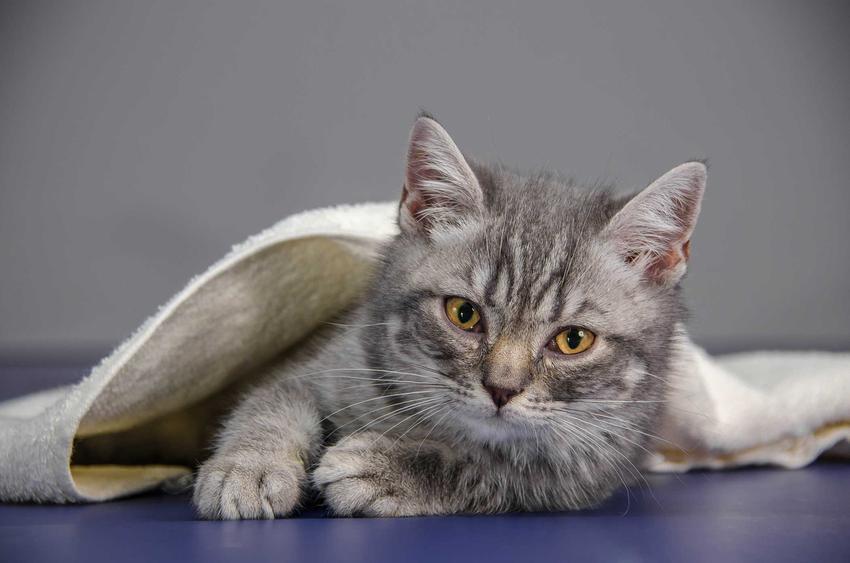 Kot leżący pod kocem chory na toksokarozę, a także opis choroby, przyczyny, objawy, zapobieganie oraz leczenie