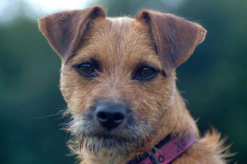 Pies rasy Patterdale Terrier o brązowych oczach i uszach, a także opis rasy, charakter i usposobienie oraz wymagania