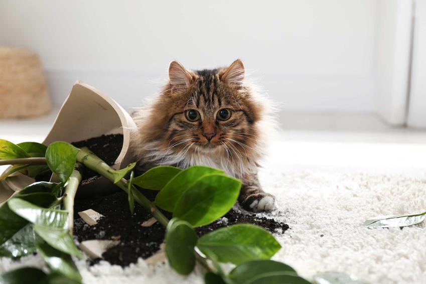 Kot leżący przy rozbitej doniczce z zamioculcasem, a także najgroźniejsze gatunki dla kota - występowanie i objawy zatrucia
