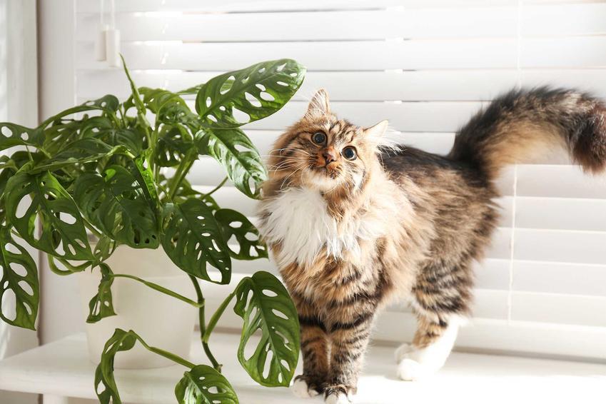 Kot stojacy obok monstery na parapecie, a także rośliny trujące dla kota, czyli najgroźniejsze gatunki oraz objawy zatrucia