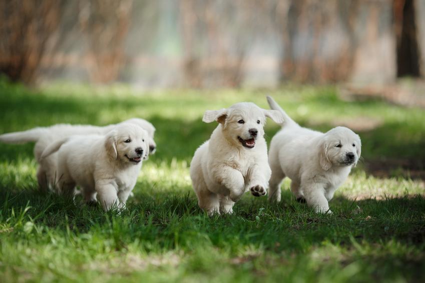 Małe psy rasy golden retriever biegające po trawie, a także hodowla golden retrievera