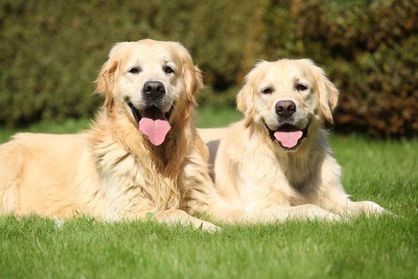 Dwa duże psy rasy golden retriever siedzące na trawniku, a także hodowla golden retrievera