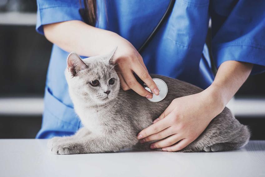 Kot u weterynarza podczas badania pracy serca, a także toksoplazmoza u kotów, leczenie, skutki, rozpoznawanie