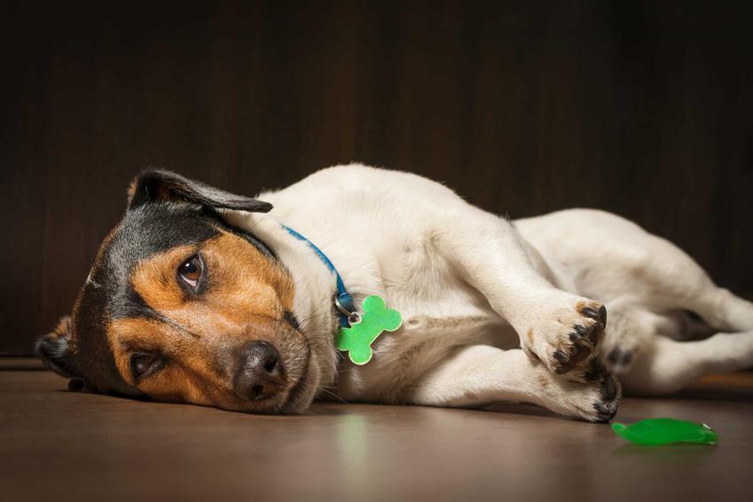 Pies chorujący na laptospirozę, a także możliwość zakażenia, objawy, najważniejsze powikłania, najgroźniejsze następstwa