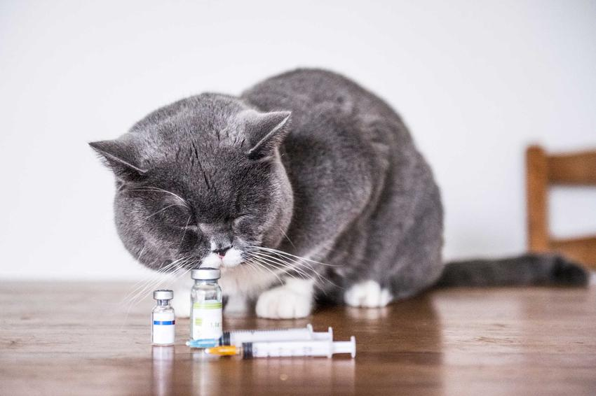 Kot wąchający zastrzyki w szklanych fiolkach, a także zapalenie jelit u kota, przyczyny, objawy, przebieg choroby krok po kroku