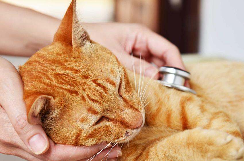 Kot u weterynarza leczony na zapalenie jelit, a także przyczyny choroby, problemy, objawy, leczenie, przebieg
