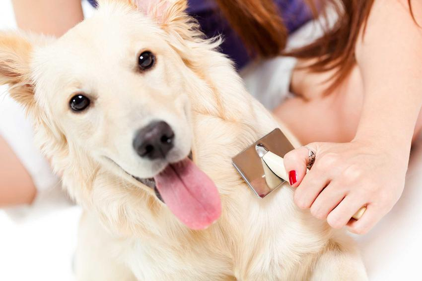 Golden Retriver czesany zgrzebłem dla psa, a także najlepsze ceny, rodzaje, zastosowanie, modele oraz porady właścicieli psów