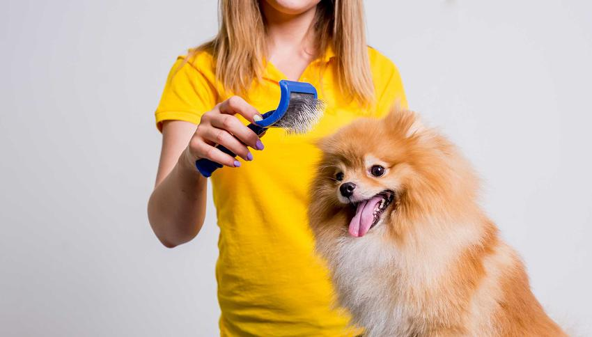 Pomeraninian czesany zgrzebłem dla psa, a także zastosowanie, ceny, porady użytkowników, producenci i modele
