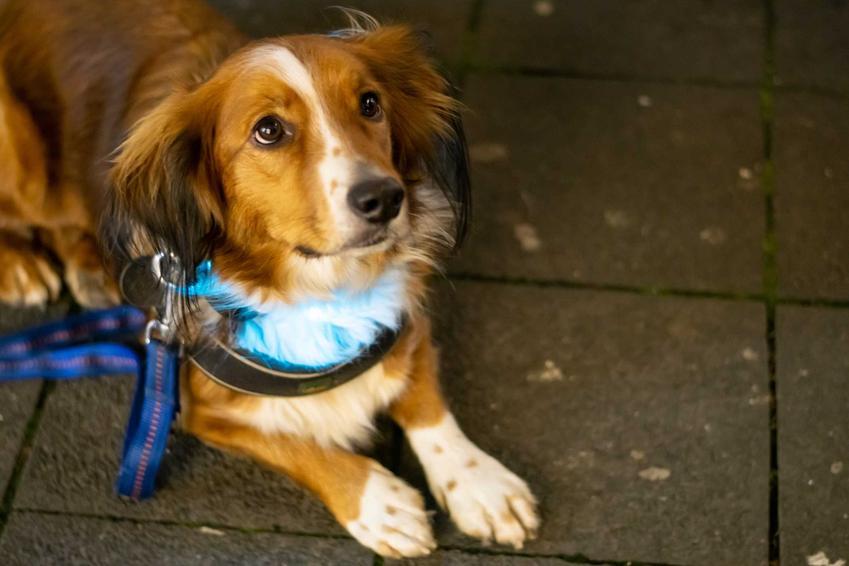 Duży pies z niebieską świecącą obrożą, a także opis, rodzaje, cena, porady użytkowników, zastosowanie