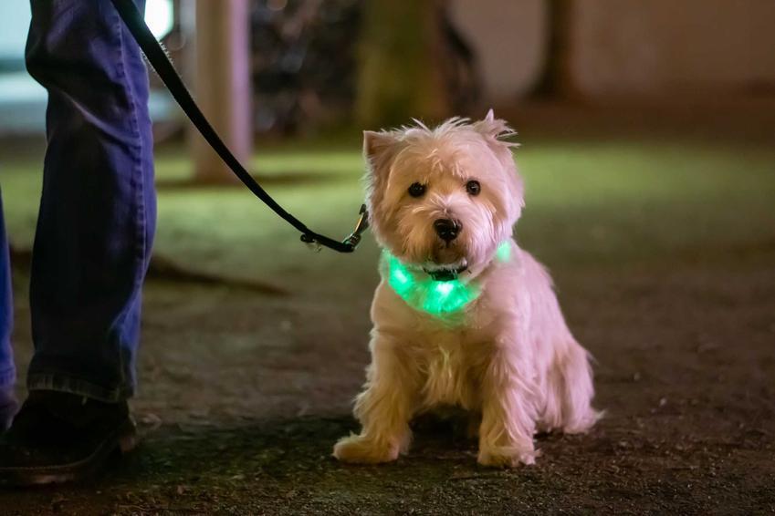Pies terrier ze świecącą obrożą, a tkaże rodzaje, cena, opis, porady właścicieli psów i zastosowanie