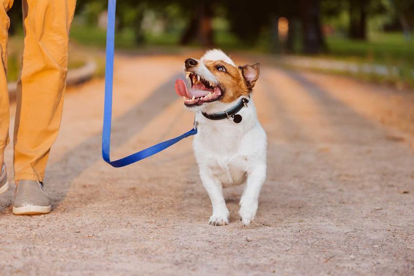Mały pies na smyczy behawioralnej podczas tresury, a także opis, działanie, cena, opinie i zastosowanie smyczy