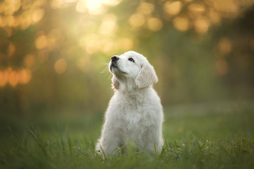 Pies rasy golden retriever siedzący na trawie, a także ceny za szczeniaki golden retrievera