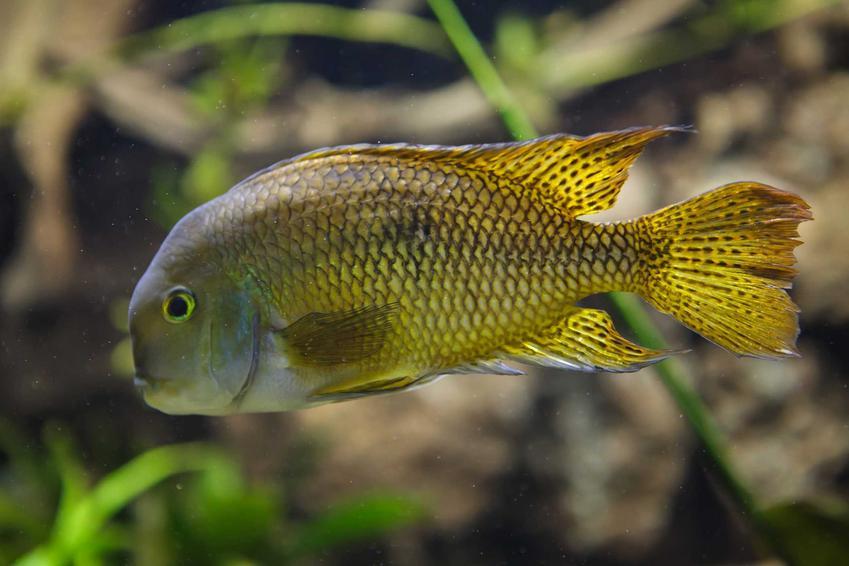 Żółto-niebieska pielęgnica nikaraguańska, piękna ryba do akwarium, a także informacje, usposobienie, porady, zastosowanie, wymagania oraz zdjecia