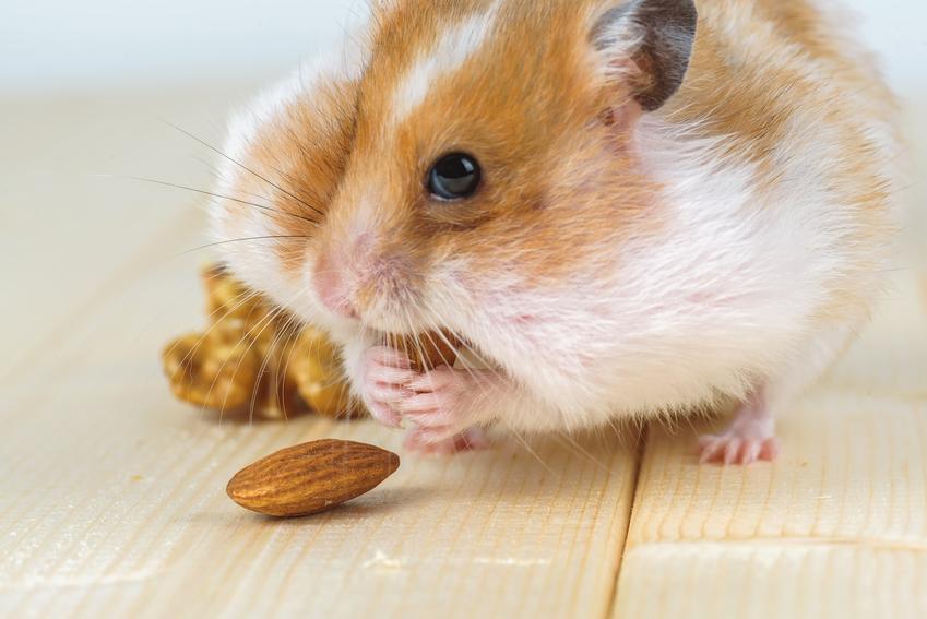Chomik domowy jedzący orzechy, a także informacje, co może jeść chomik i karmienie chomika