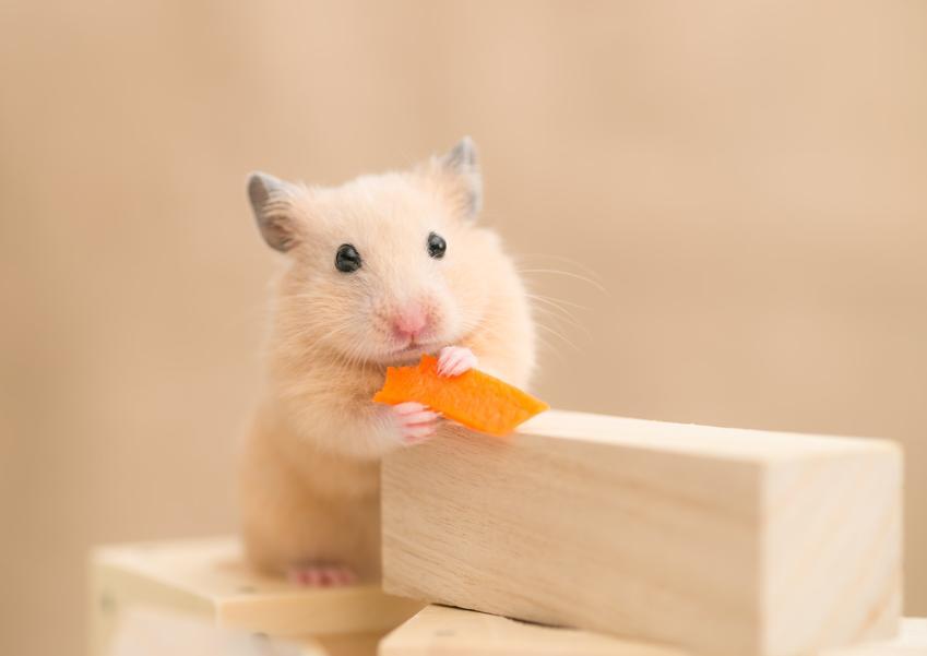 Chomik domowy jedzący marchewkę, a także porady, co może jeść chomik, a czego nie może jeść chomik