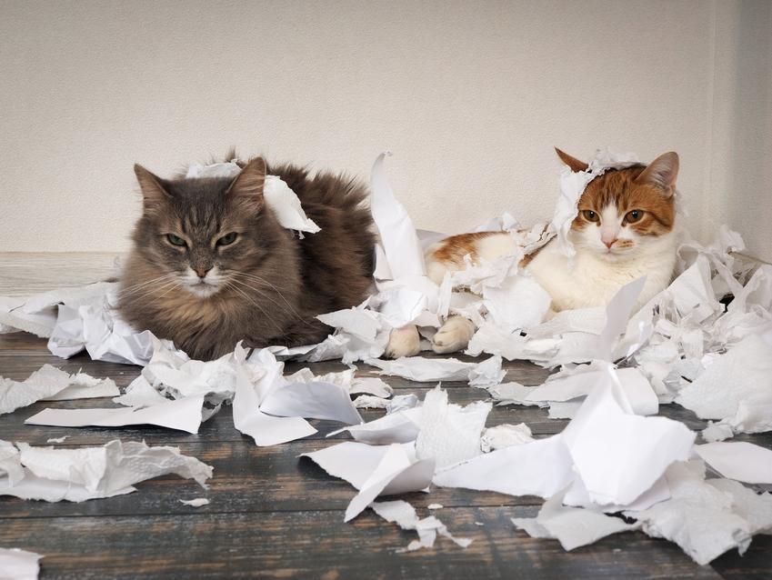 Dwa koty w poszarpanych kartkach papieru, a także wychowanie kota i jak wychować kota